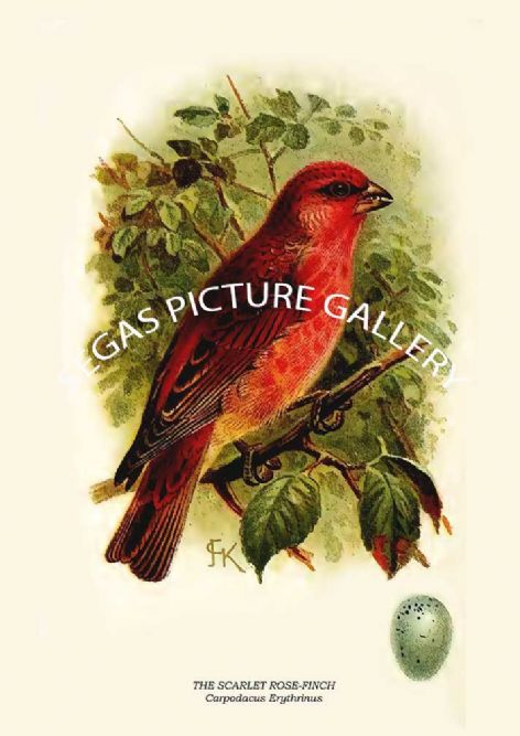 Fine art print of the THE SCARLET ROSE-FINCH - Carpodacus Erythrinus by R. Bowdler Sharpe (1895)